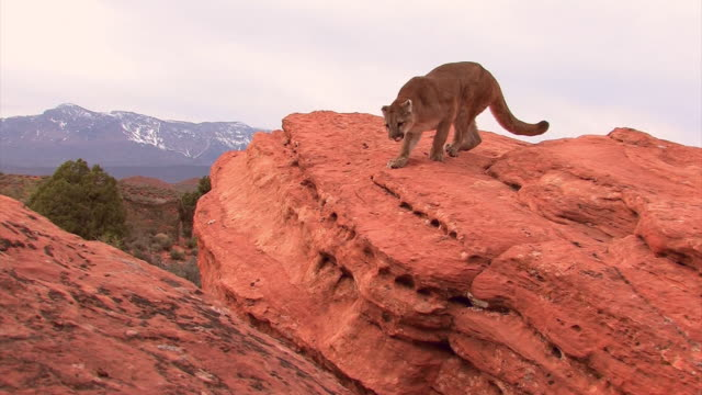 MS TS Mountain Lion (Puma concolor) jumps across rocks toward camera /Utah, USA
