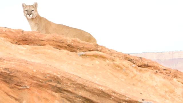 vídeos y material grabado en eventos de stock de ms ts mountain lion (puma concolor) jumps twice across rocks in utah desert - puma