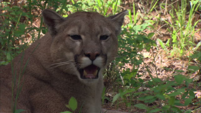 a mountain lion lies in the shade and pants. - mountain lion stock videos & royalty-free footage