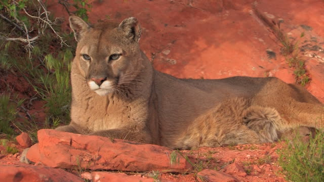 MS Mountain Lion (Puma concolor) posing while laying down /Utah, USA