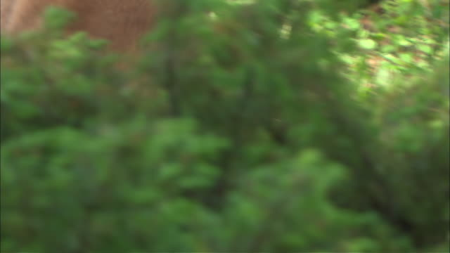 a mountain lion stalks something in the bushes. - puma stock videos & royalty-free footage