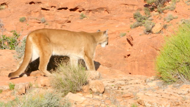 vídeos y material grabado en eventos de stock de ms ts mountain lion (puma concolor) walks across the frame and then disappears behind a hill - puma