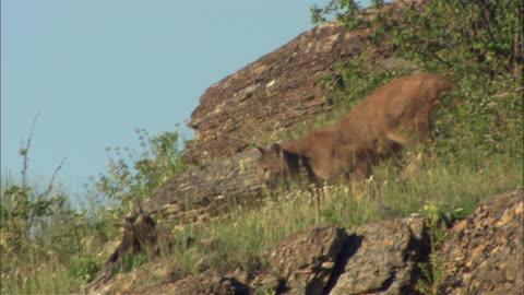 a mountain lion walks down a rocky hillside. - mountain lion stock videos & royalty-free footage