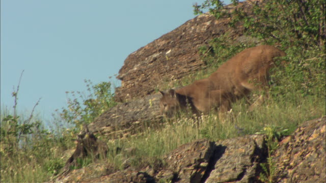a mountain lion walks down a rocky hillside. - puma stock videos & royalty-free footage