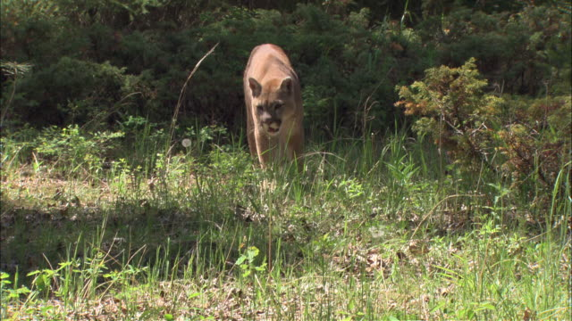 a mountain lion walks into a meadow. - mountain lion stock videos & royalty-free footage