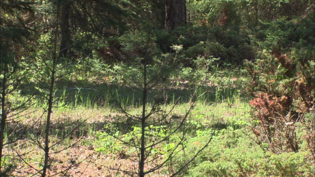 a mountain lion walks past a pond and moves farther into a forest. - puma stock videos & royalty-free footage