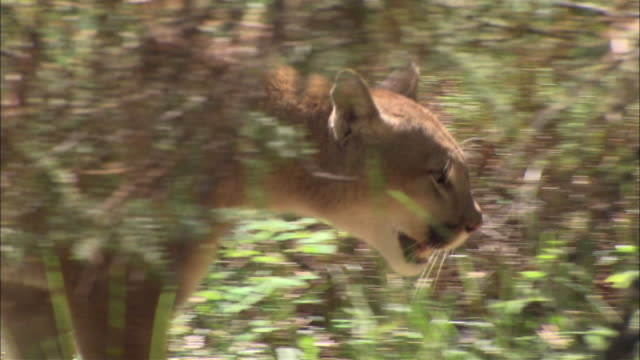 a mountain lion walks through underbrush, then passes a pond. - puma stock videos & royalty-free footage