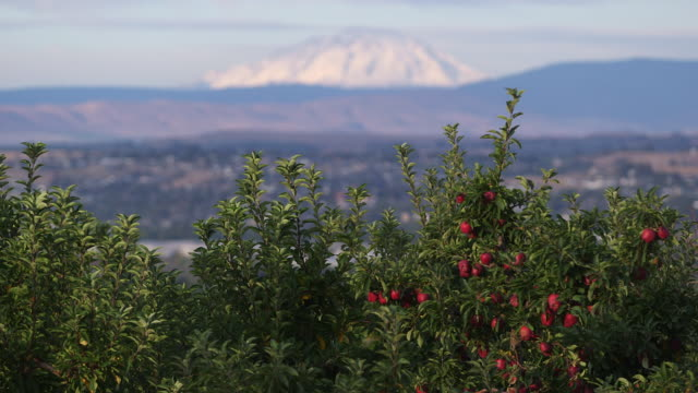 mountain over apple trees rack focus - wiese stock videos & royalty-free footage