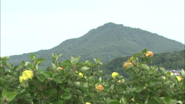 a mountain overlooks a field of hibiscus. - eibisch tropische blume stock-videos und b-roll-filmmaterial