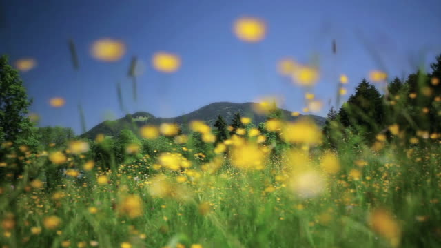 vídeos de stock e filmes b-roll de la mountain range behind wildflowers swaying in the breeze / bavaria, germany - prado