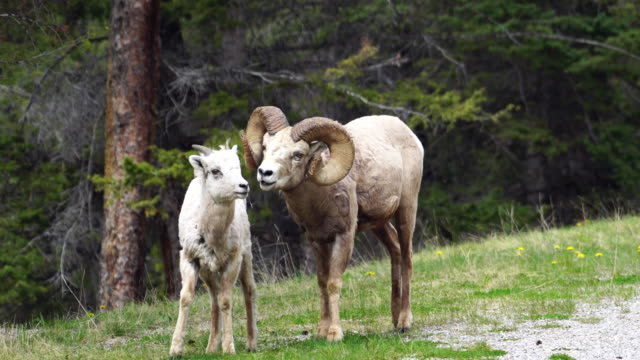 mountain sheep - banff national park stock videos & royalty-free footage