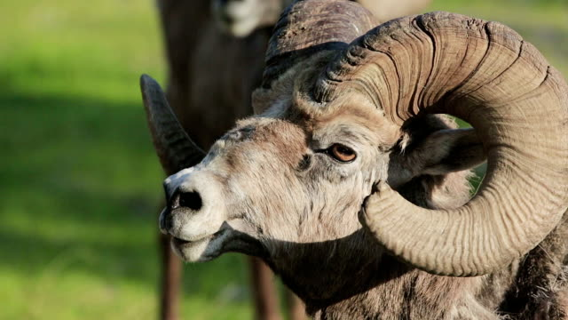 Mountain sheep with broken rack