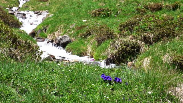 bergbach mit blauen enzian - wiese stock-videos und b-roll-filmmaterial
