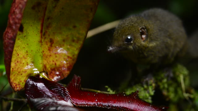 mountain treeshrew appears and licks nectar from pitcher plant - endemic stock videos and b-roll footage