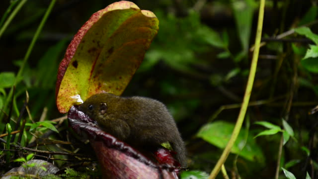 mountain treeshrew feeding and defecting in symbiotic pitcher plant, runs away - endemic stock videos and b-roll footage