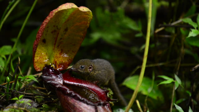 mountain treeshrew licking pitcher plant - carnivorous plant stock videos and b-roll footage