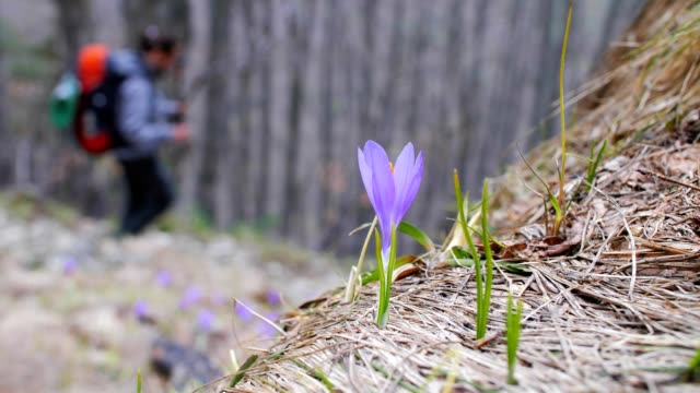 mountain whitewell purple crocuses and a solo traveler, close up of one young woman tourist walking through eco path, enjoying the mountains and the forest, portrait, travel, exploration, adventure, tourism, outdoors, mountain hiking, travel destinations - wonderlust stock videos & royalty-free footage