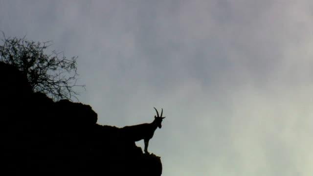 Mountain wild goat