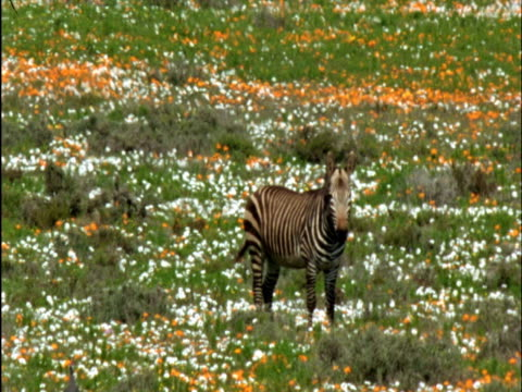 Mountain zebra (Equus zebra) amongst veldt flowers, Namaqualand, South Africa