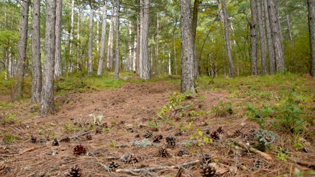 山村 ミックス初頭に秋の森 - パインコーン点の映像素材/bロール