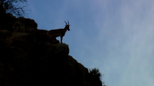 山ヤギ - ヤギ点の映像素材/bロール
