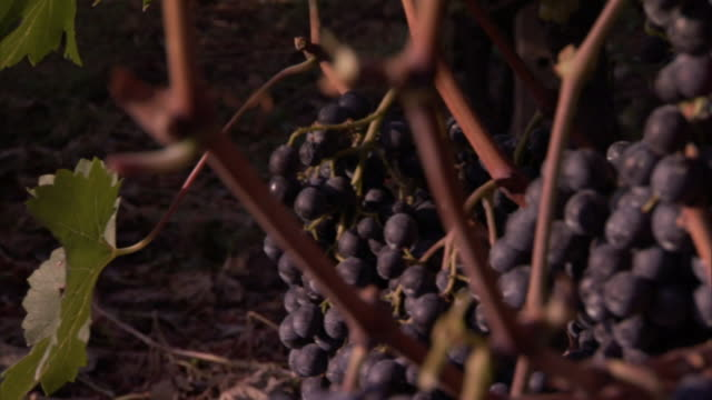 mountains loom over a vineyard where vines crisscross each other among clusters of grapes. - vineyard stock videos & royalty-free footage