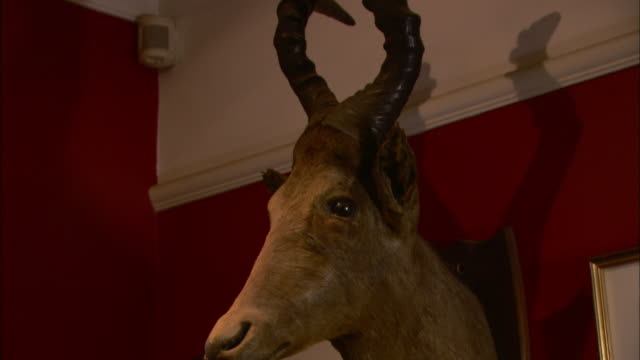 a mounted gazelle head hangs on a red wall between framed pictures. - stuffed stock videos & royalty-free footage