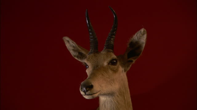 a mounted gazelle head hangs on a red wall. - stuffed stock videos & royalty-free footage