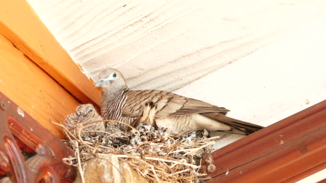 mourning dove bird with squabs on bird's nest - full hd format stock videos & royalty-free footage