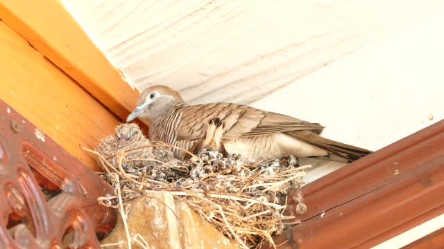 mourning dove bird with squabs on bird's nest - bird's nest stock videos & royalty-free footage