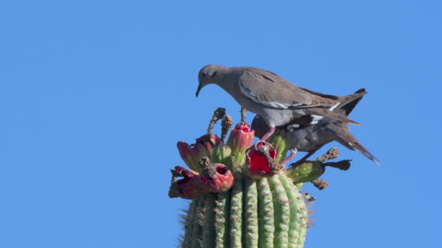 mourning dove eating cactus - telephoto lens stock videos & royalty-free footage