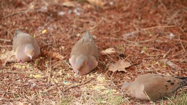 mourning dove feeding on the ground underneath a spruce tree. - フレミントン点の映像素材/bロール