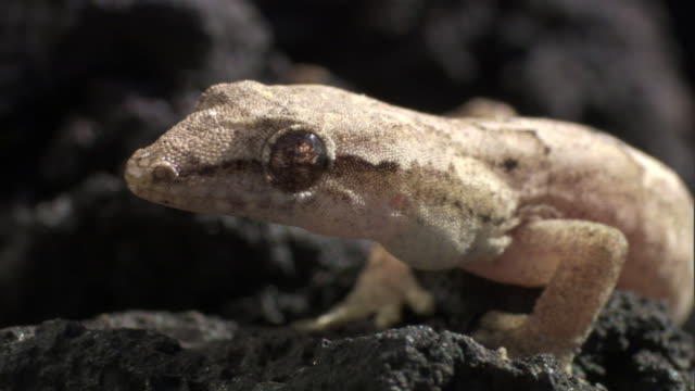 mourning gecko (lepidodactylus lugubris) on lava field, hawaii - mourning stock videos and b-roll footage