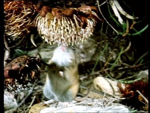 cu mouse drinking nectar from protea - mouse animal stock videos & royalty-free footage