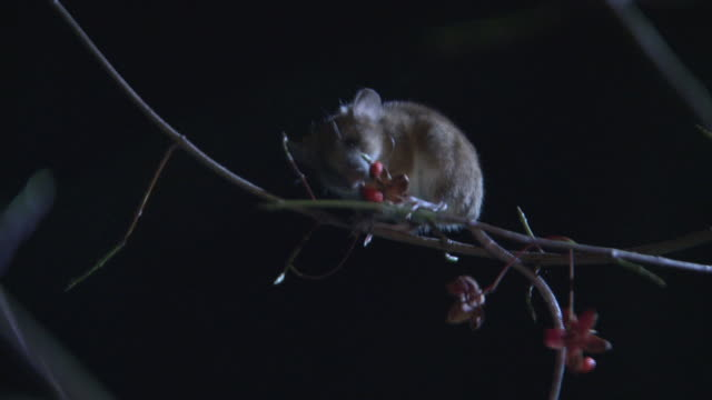 a mouse eating fruits on a tree in the forest - roditore video stock e b–roll