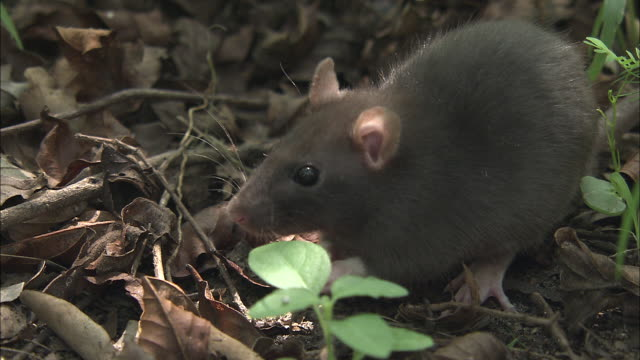 a mouse eats leaves. - mouse animal stock videos & royalty-free footage