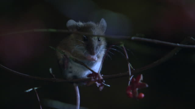 A Mouse Grooming Oneself In The Forest