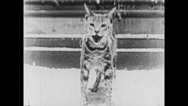 1926 A mouse hides from a cat