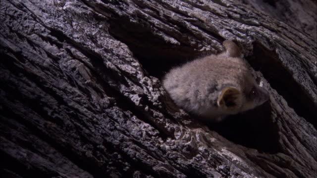 vidéos et rushes de mouse lemur emerges from hole in tree, madagascar - émergence