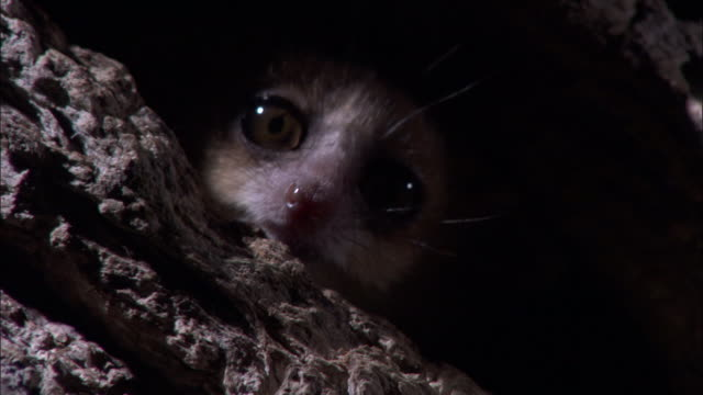 vídeos de stock, filmes e b-roll de mouse lemur peers out of hole in tree, madagascar - buraco