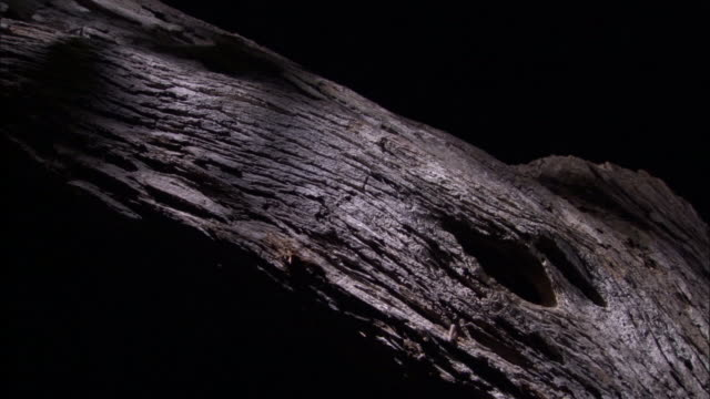 mouse lemur peers out of hole in tree, madagascar - appearance stock videos & royalty-free footage