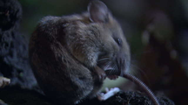 A Mouse Making Personal Grooming In The Forest
