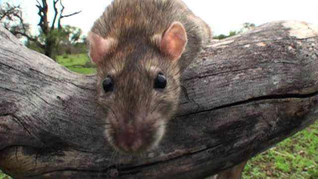 a mouse sits on a log and sniffs around. - mouse animal stock videos & royalty-free footage