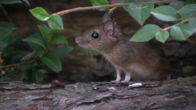 mouse (apodemus sylvaticus) - small stock videos & royalty-free footage