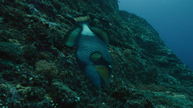 moustache triggerfish (balistoides viridescens) feeds on rock face of yonaguni monument. japan - rock face stock videos & royalty-free footage