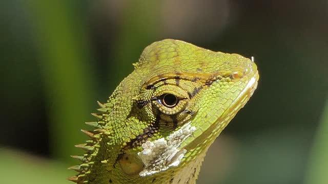 vídeos y material grabado en eventos de stock de lagarto crestado moustached en la naturaleza. - reptile