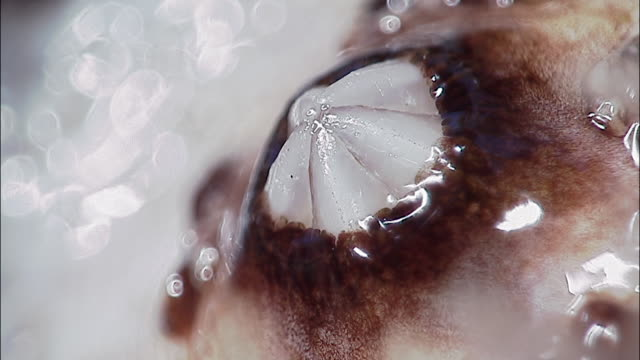 mouth and dental apparatus of sea urchin (echinoidea), england - ricci di mare video stock e b–roll