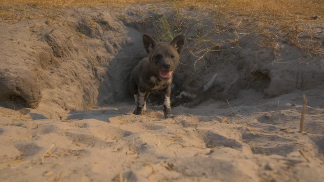 mouth of african wild dog den as a pup emerges and walks very close to camera - small group of animals stock videos & royalty-free footage
