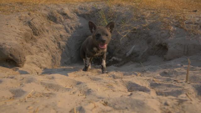 mouth of african wild dog den as a pup emerges and walks very close to camera - kleine gruppe von tieren stock-videos und b-roll-filmmaterial