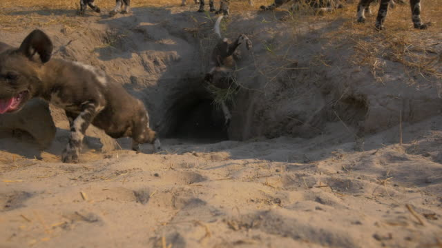 mouth of african wild dog den as a pup falls into it - animals in the wild stock videos & royalty-free footage